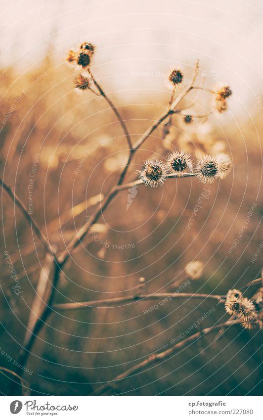 Winterstarre Natur alt Pflanze Herbst Stengel vertrocknet Zweige u. Äste Wildpflanze