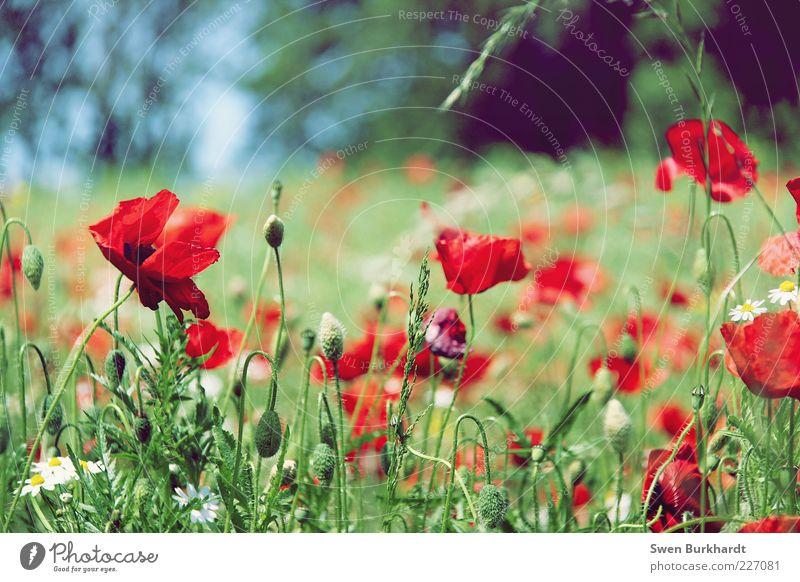 Ein Hauch von Sommergefühl ruhig Duft Umwelt Natur Pflanze Schönes Wetter Blume Gras Blatt Blüte Wildpflanze Mohn Mohnblüte Wiese Blühend Wachstum grün rot