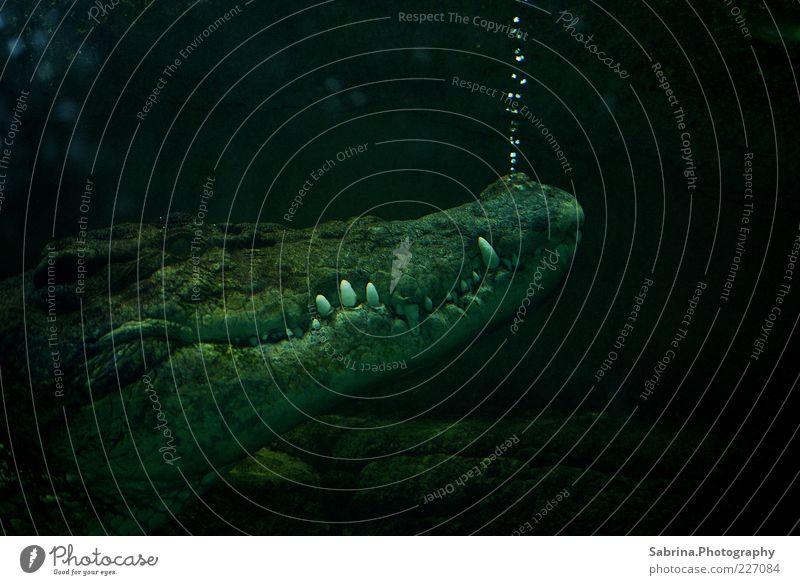 Verräterische Bläschen elegant Tier Wildtier Aquarium 1 Wasser atmen genießen Traurigkeit Aggression ästhetisch bedrohlich dunkel authentisch rebellisch