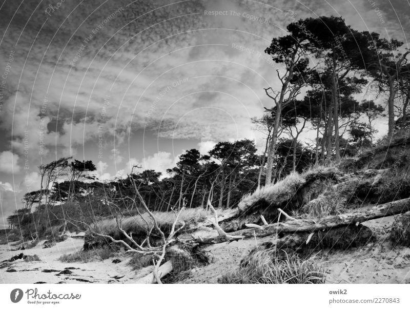 Sturmschaden Umwelt Natur Landschaft Pflanze Himmel Wolken Schönes Wetter Wind Baum Gras Sträucher Windflüchter Küste Strand Ostsee Weststrand Holz wild bizarr