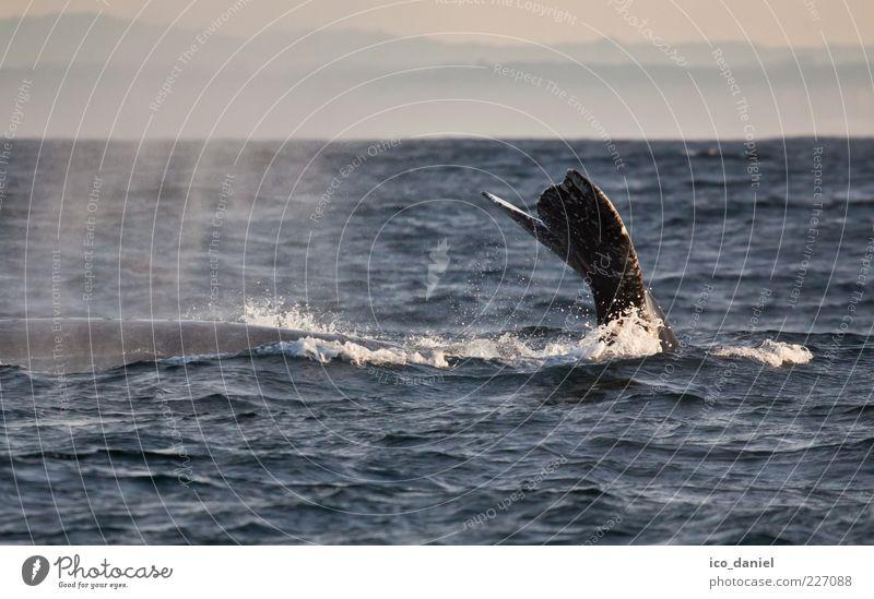 Abgetaucht Ferien & Urlaub & Reisen Tourismus Ausflug Abenteuer Freiheit Meer Natur Wasser Pazifik Tier Wildtier Wal 1 außergewöhnlich schön friedlich