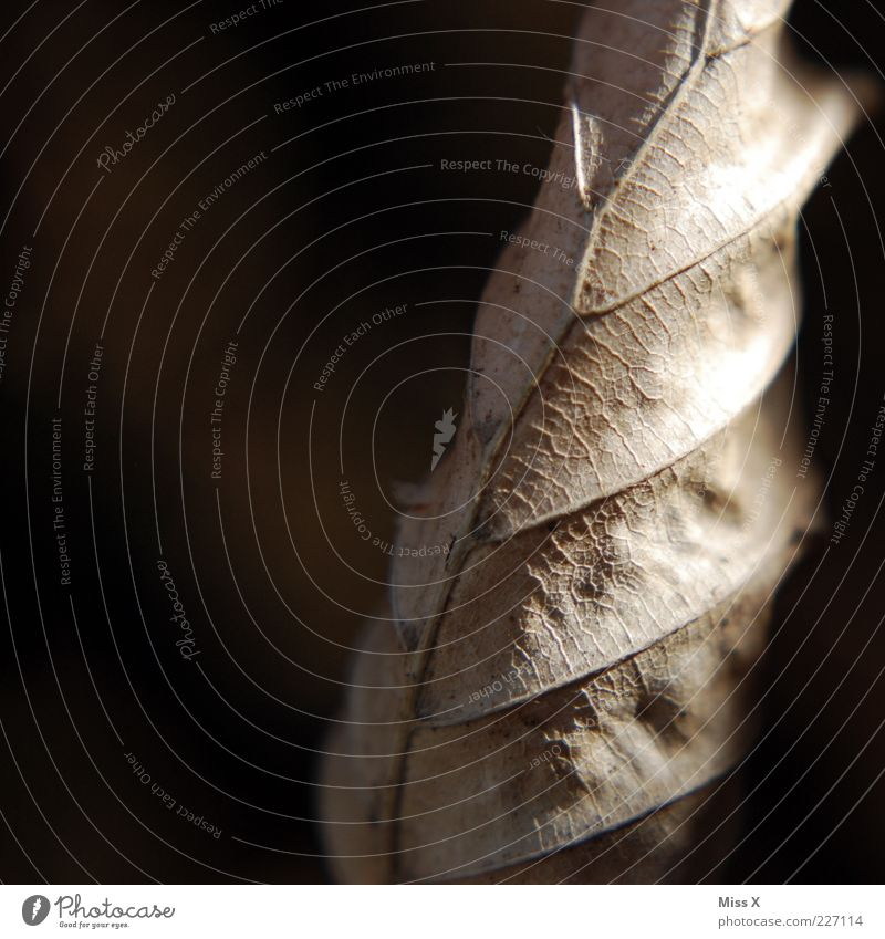 trocken alt Blatt Herbst braun trocken Blattadern welk dehydrieren Buchenblatt
