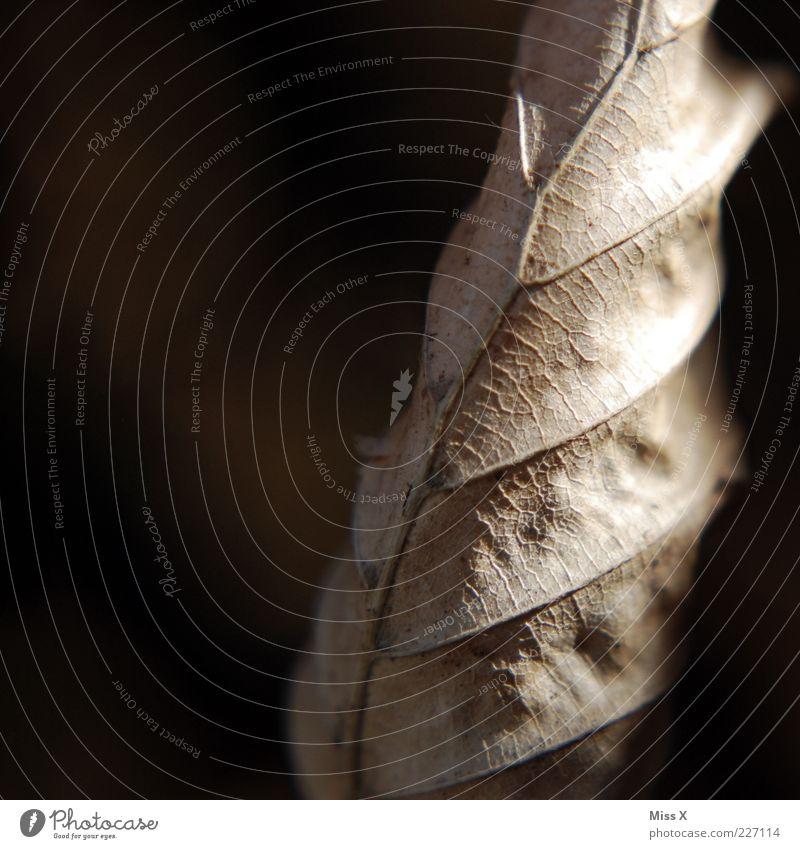 trocken Herbst Blatt dehydrieren alt braun Blattadern Buchenblatt welk Farbfoto Nahaufnahme Makroaufnahme Menschenleer Textfreiraum links Hintergrund neutral