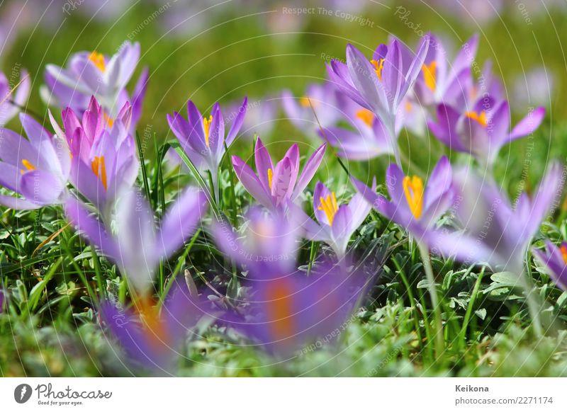 Light purple crocuses on spring meadow. Freude Glück harmonisch Tourismus Ausflug Umwelt Natur Landschaft Pflanze Frühling Blume Gras Blatt Blüte Wildpflanze
