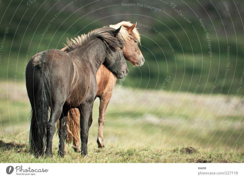 Doppeltes Hottchen Tier ruhig Wiese braun natürlich Tierpaar Romantik Pferd Freundlichkeit Island Grasland Ponys Nutztier Tierliebe nebeneinander Island Ponys