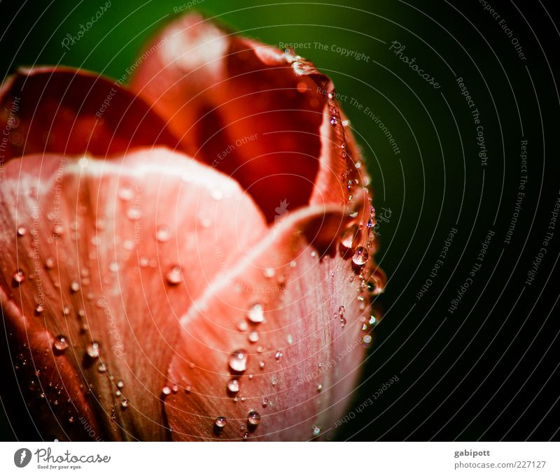 tautropfen an tulpenblatt Natur grün rot Pflanze Blume Frühling Blüte nass frisch Wassertropfen ästhetisch Romantik Kitsch Duft Tulpe Tau