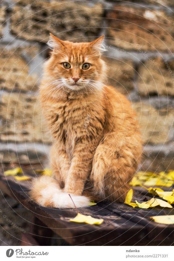 Porträt einer großen roten Katze Natur Tier Haustier 1 Blick niedlich gelb Reinrassig züchten hübsch pelzig Säugetier Katzenbaby reizvoll Hintergrund heimisch