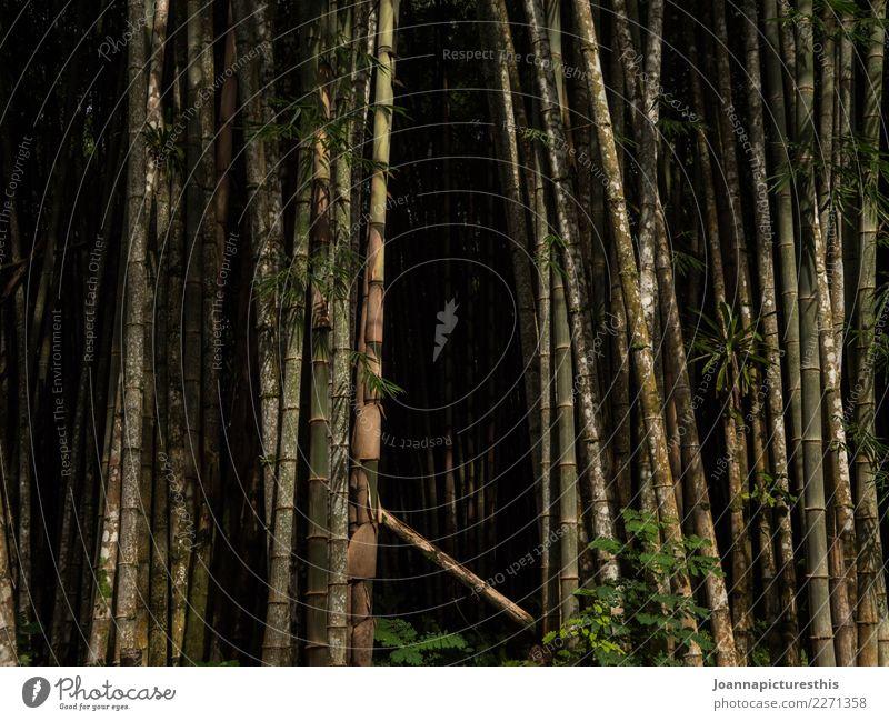 Bamboo cave Natur Pflanze Baum Wald Umwelt natürlich Holz Wachstum Landwirtschaft stark lang exotisch Umweltschutz nachhaltig Expedition Forstwirtschaft