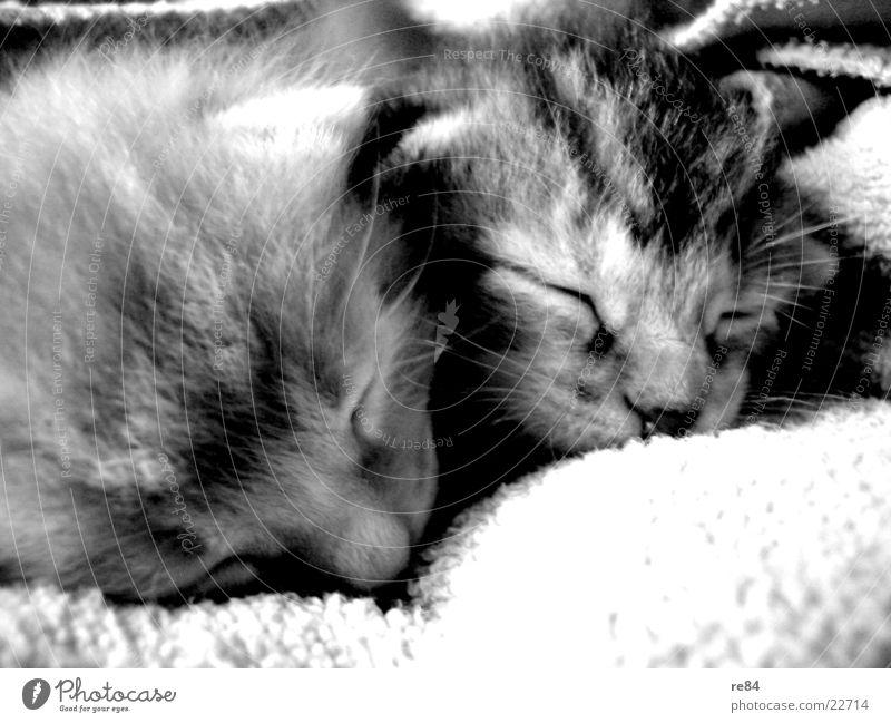 katzenbrüder! Katze grau weiß schwarz Tier Haustier retro süß schlafen gähnen Langeweile träumen Spielen Fell cat Kontrast Müdigkeit animal Ohr Auge