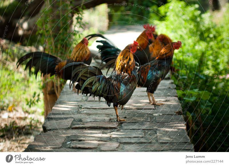 Chicken Nuggets grün rot Sommer Tier schwarz Mauer Vogel warten maskulin stehen Feder Tiergruppe Flügel heiß Thailand Hecke