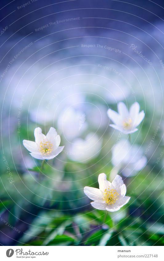 Für Ursi Natur Frühling Blume Wildpflanze Buschwindröschen Frühlingsblume Frühlingsfarbe fantastisch hell natürlich schön Frühlingsgefühle Farbfoto