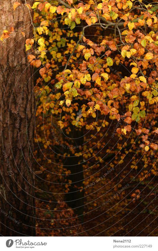 Goldene Krone Natur Herbst Klima Wetter Blatt Wald braun gelb gold Laubbaum Buche Buchenwald Buchenblatt September Oktober Baumrinde Farbfoto Außenaufnahme