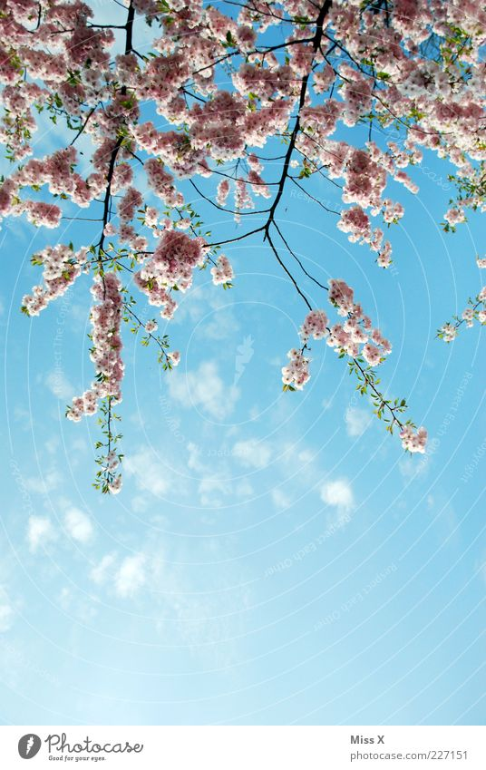 Kirschblüten Natur Pflanze Frühling Blüte rosa Wachstum Blühend Schönes Wetter Duft Blütenknospen Zweige u. Äste Kirschbaum Frühlingstag