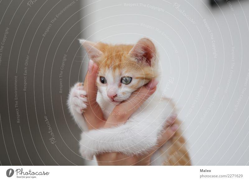 Rothaariger Liebling klein Katzenbaby Haustier Tier Hauskatze schön Reinrassig Katzenauge grau Freundlichkeit Säugetier sitzen Tierjunges Hand rothaarig