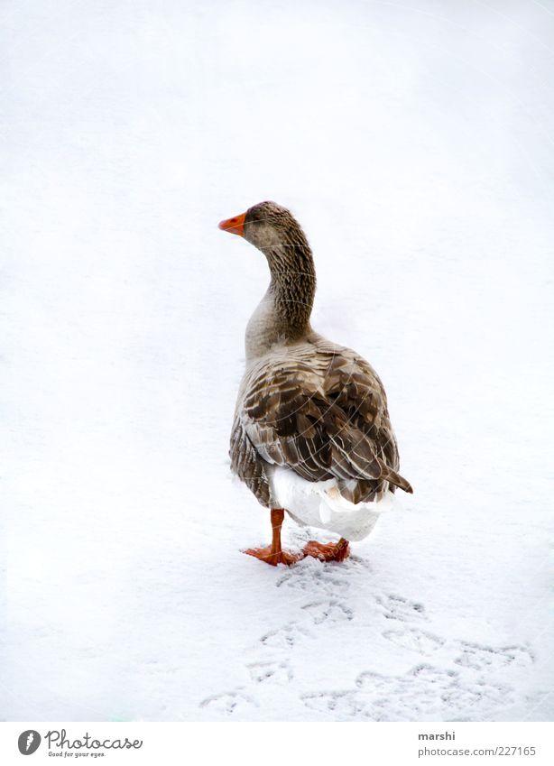 ne ganze Gans Natur weiß Winter Tier kalt Schnee Feder Spuren Jahreszeiten Gans Nutztier Fährte watscheln