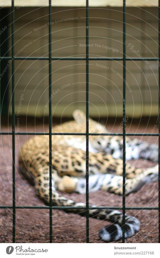 Paradise Lost ruhig Einsamkeit Tier Gefühle Traurigkeit Katze schlafen liegen Fell Zoo Müdigkeit Wildtier Zaun gefangen Schwanz Schicksal