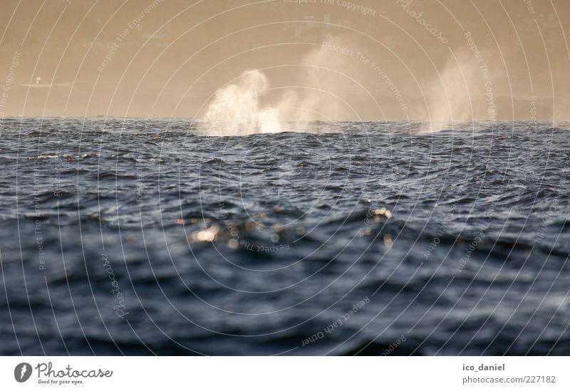 Whale Watching Wasser Ferien & Urlaub & Reisen Meer Tier Wellen Kraft Ausflug Nebel frei Tourismus ästhetisch natürlich Urelemente außergewöhnlich Amerika atmen
