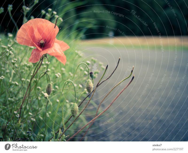 Wachstumsgrenze Pflanze Sommer Mohnblüte Feld Straße Straßenrand grau grün rot Wege & Pfade Landstraße Grenze zurückziehen Farbfoto Nahaufnahme