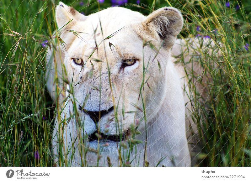 Weiße Löwin im hohen Gras Tier Wildtier Katze Tiergesicht Löwe raubtier Afrika Landraubtier Löwenkopf 1 beobachten liegen sitzen warten Coolness elegant