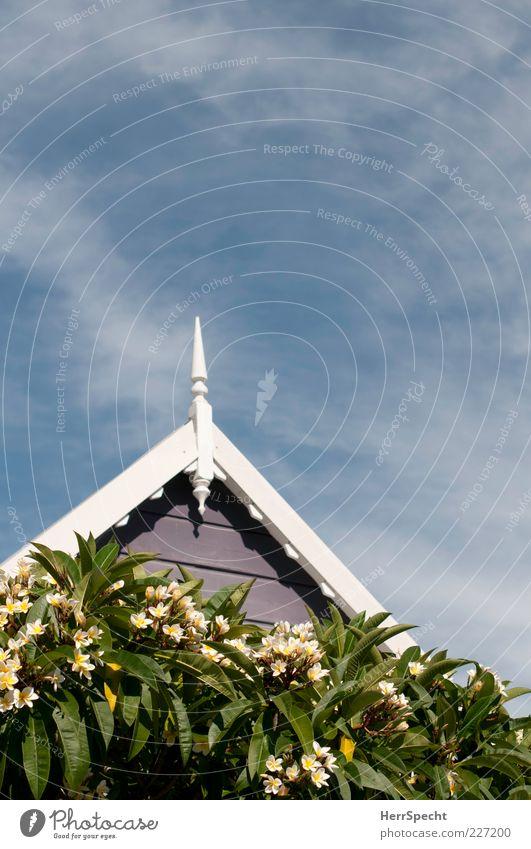 Frangipani in Balmain Himmel weiß grün schön Baum Sonne Sommer Blatt Haus gelb Garten grau Blüte Fassade Sträucher Dach