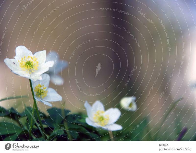 Bu-Wi-Rö für Fotoline Natur Pflanze Frühling Blume Blatt Blüte Blühend Duft Wachstum Buschwindröschen Frühblüher weiß Blütenblatt Farbfoto Außenaufnahme