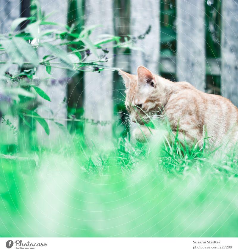 Schleckereien für Fotoline Tier Haustier 1 berühren entdecken Erholung lutschen Katze Wiese Reinigen Katzenbaby rot Zaun Farbfoto Außenaufnahme Unschärfe