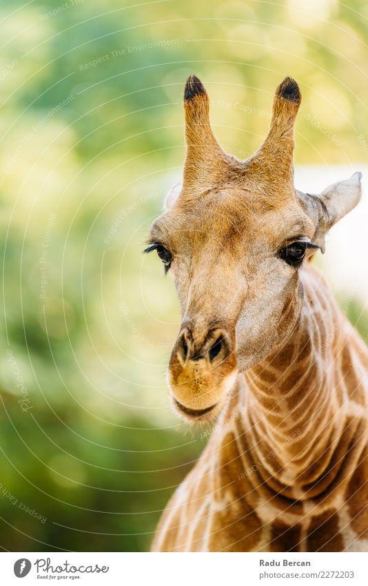 Wildafrikanisches Giraffenporträt Safari Umwelt Natur Tier Sommer Schönes Wetter Wildtier Tiergesicht Zoo 1 Blick lang lustig niedlich wild braun mehrfarbig