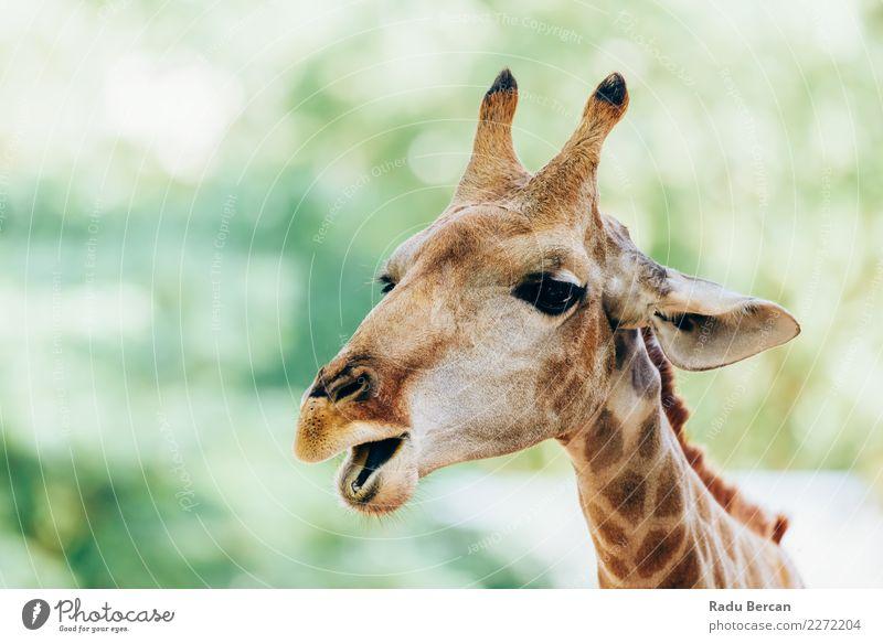 Wildes afrikanisches Giraffen-Porträt Safari Natur Tier Sommer Wildtier Tiergesicht 1 beobachten Ferien & Urlaub & Reisen lang lustig niedlich wild braun grün