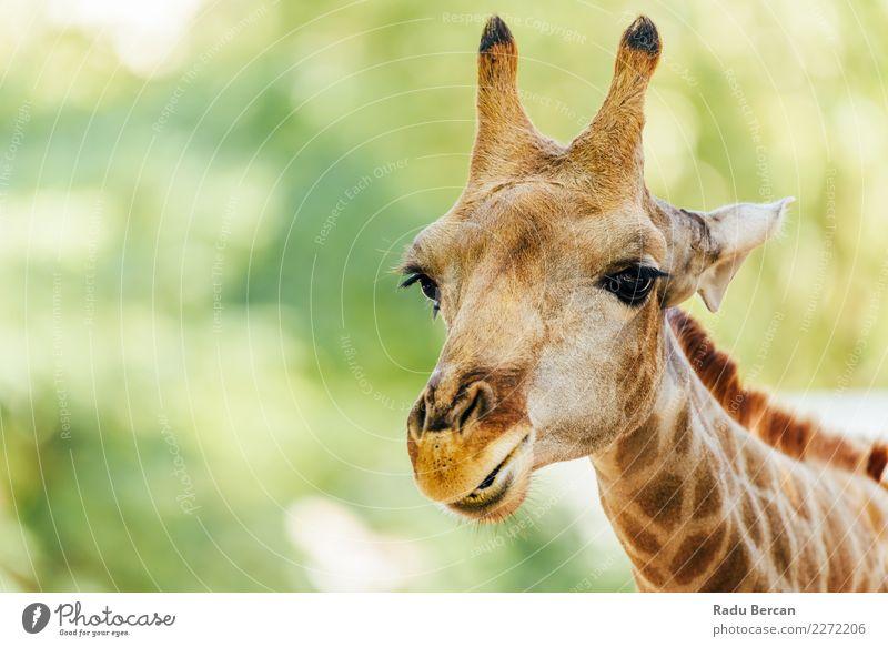 Wildafrikanisches Giraffenporträt Ferien & Urlaub & Reisen Abenteuer Safari Umwelt Natur Tier Schönes Wetter Wildtier Tiergesicht 1 Blick einfach schön lang