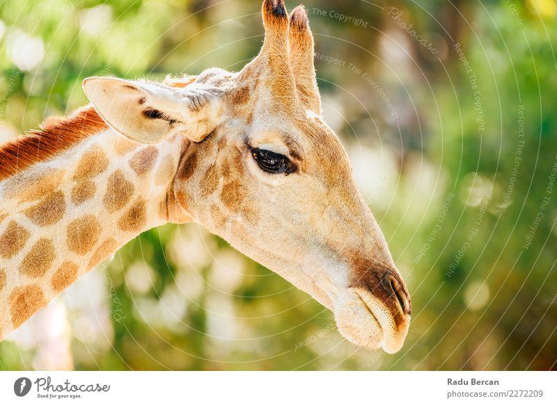 Wildafrikanisches Giraffenporträt Safari Natur Tier Sommer Schönes Wetter Park Wildtier Tiergesicht 1 hoch lang lustig niedlich wild braun mehrfarbig grün weiß