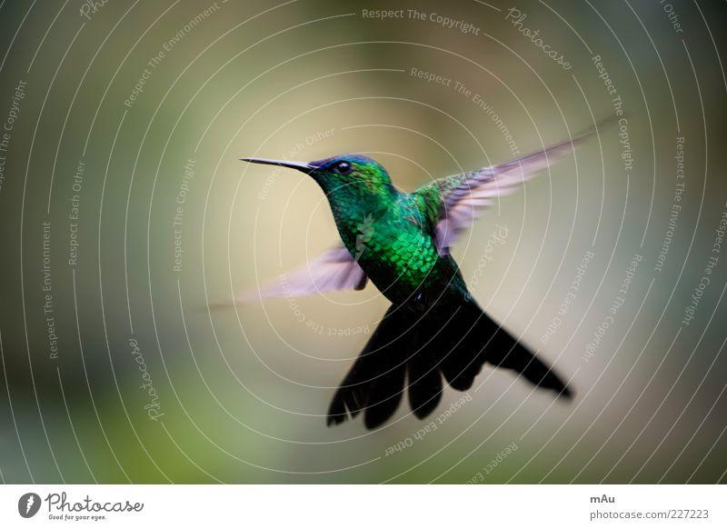 Beija Flor .2 Natur Tier Wildtier Vogel 1 fliegen glänzend niedlich grün Brasilien Kolibris Farbfoto mehrfarbig Außenaufnahme Nahaufnahme Tag