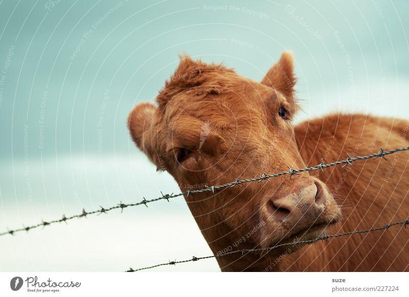 Unschuldslamm Himmel Natur Tier braun natürlich niedlich Tiergesicht Neugier Fell Zaun Kuh Bioprodukte Lebensmittel Biologische Landwirtschaft Kalb Nutztier
