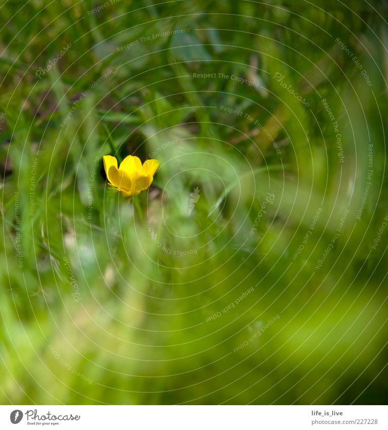 blüh_m_chen Gras grün gelb Sommer frisch saftig Frühling Unschärfe Halm Blühend Natur Hahnenfuß 1 Textfreiraum unten Textfreiraum oben Textfreiraum rechts
