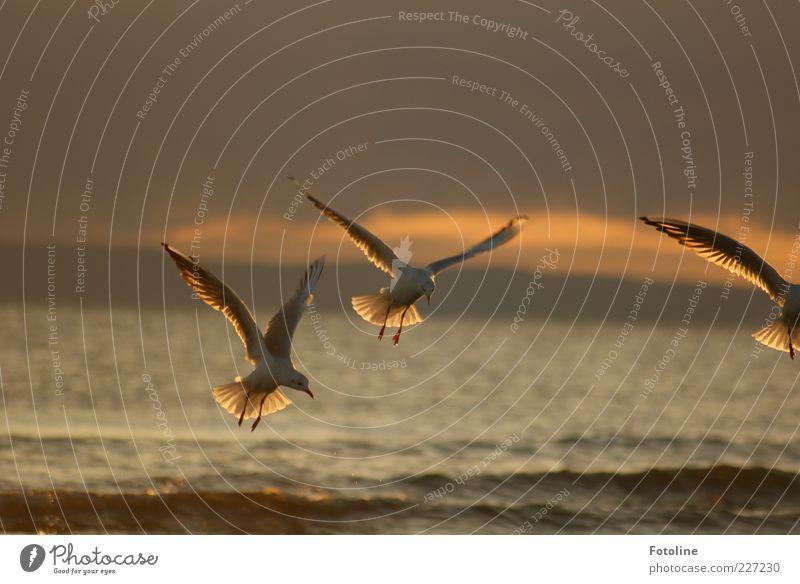 Auf nach Spiekerook Umwelt Natur Tier Himmel Wolken Sommer Wellen Ostsee Meer Wildtier Vogel Flügel dunkel natürlich braun Möwe fliegen Farbfoto mehrfarbig