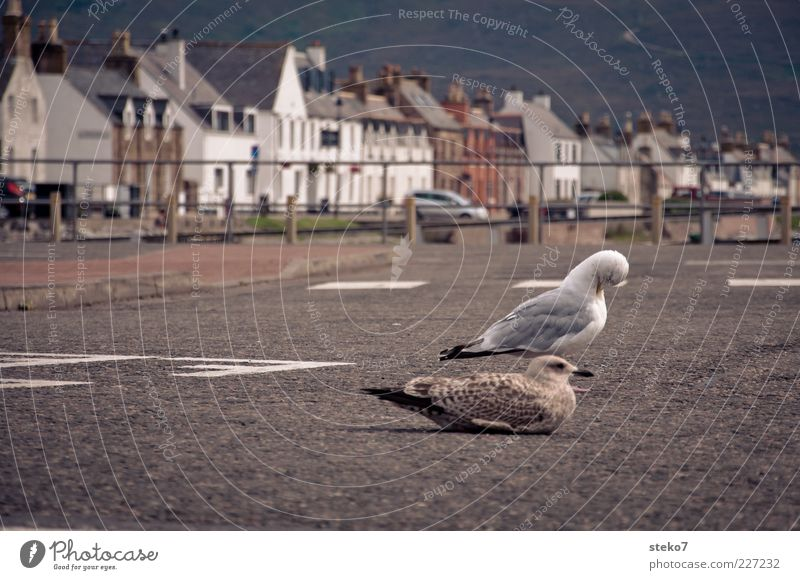 Highnoon in Ullapool Schottland Hafenstadt Haus Straße Möwe 2 Tier Erholung Pause beschaulich Außenaufnahme Asphalt sitzen braun weiß warten Feder Reinigen