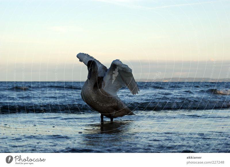 Schwan Natur Wasser weiß schön Meer Tier Umwelt Wellen Vogel natürlich Feder Flügel Ostsee