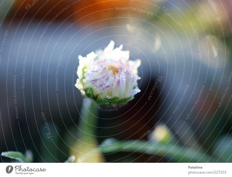 Gänseblümchen tiefgekühlt Umwelt Natur Pflanze Urelemente Eis Frost Blume Blüte Blütenblatt gefroren kalt Außenaufnahme Textfreiraum oben Licht Sonnenlicht
