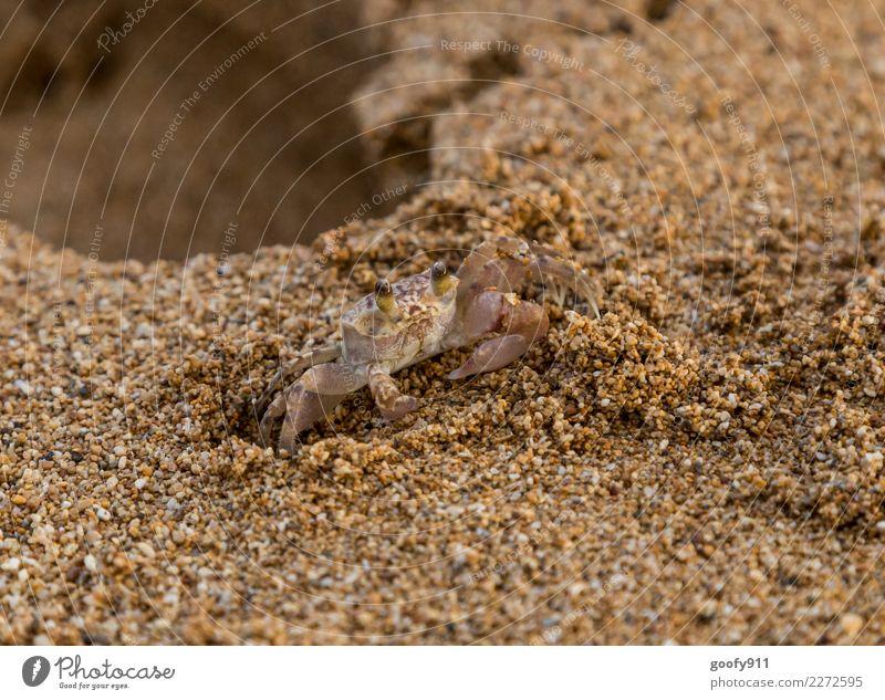Kleiner Krabbler Ferien & Urlaub & Reisen Abenteuer Sommer Strand Meer Umwelt Natur Sand Tier Wildtier Tiergesicht Krallen Krabbe Krabbenauge 1 Bewegung