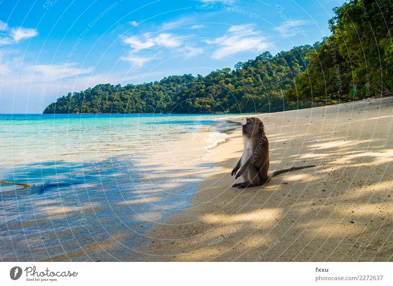 Geniessen Strand Thailand Landschaft Meer Sonne sitzen genießen Himmel Wasser lustig Affen blau Natur Atlantik Insel Felsen Wald Baum Sand Erholung Sonnenbad