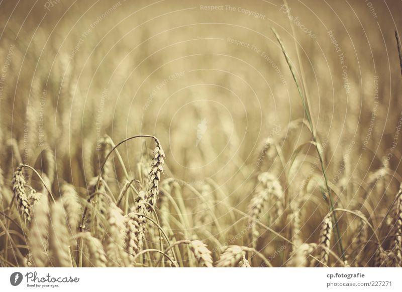 Weizen Natur Pflanze Herbst Schönes Wetter Ähren Getreidefeld Nutzpflanze