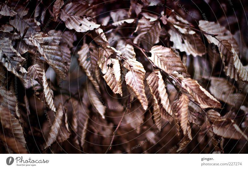 totschön Natur Blatt Winter Umwelt kalt braun natürlich Klima Wandel & Veränderung trocken Zweig dehydrieren Pflanze