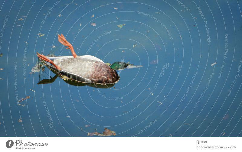 EnteEnteEnte Natur Wasser blau grün Tier Tod orange Vogel Tierfuß Wildtier Vergänglichkeit Im Wasser treiben Ente Teich untergehen Ereignisse