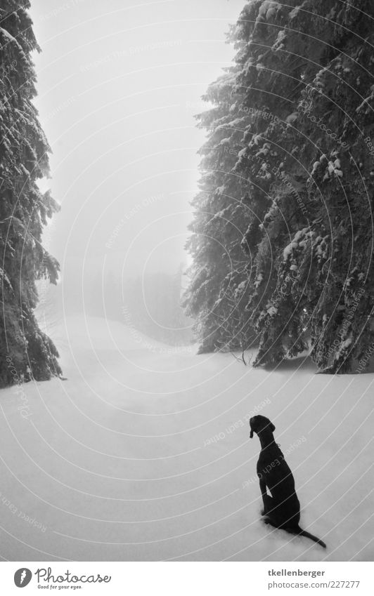 fernweh Natur Winter Eis Frost Schnee Baum Tanne Wald Tier Haustier Hund 1 warten schwarz weiß Hundeblick Sehnsucht geduldig Schwanz Einsamkeit Märchenwald