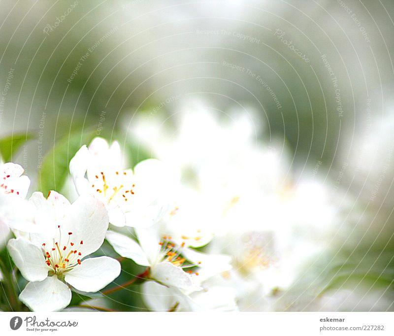 spring! Natur weiß grün schön Pflanze Blüte Frühling frisch ästhetisch natürlich Hoffnung zart Blühend Duft Rahmen Frühlingsgefühle