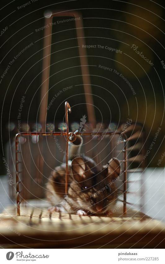 ethic Maus niedlich braun gefangen Käfig Farbfoto Außenaufnahme Innenaufnahme Nahaufnahme Tag Schwache Tiefenschärfe Blick Mausefalle Blick in die Kamera 1