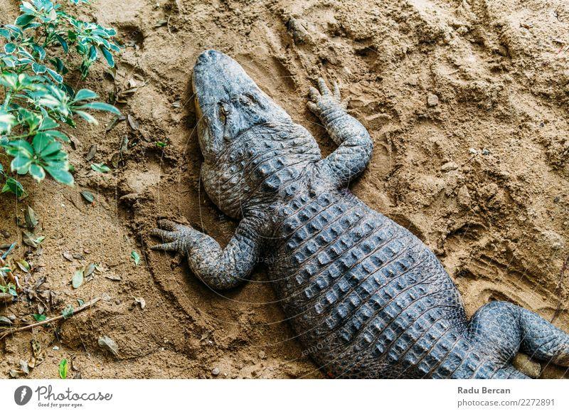 Alligator Draufsicht Natur Tier wild Wildtier gefährlich bedrohlich Aggression Amerikaner tropisch Sumpf Reptil Fleischfresser aquatisch Kaiman