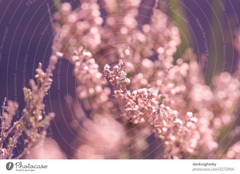 Floraler Hintergrund mit Heide Blüten Umwelt Natur Pflanze Herbst Blume Gras Sträucher Grünpflanze Heidekrautgewächse Bergheide Lüneburger Heide authentisch