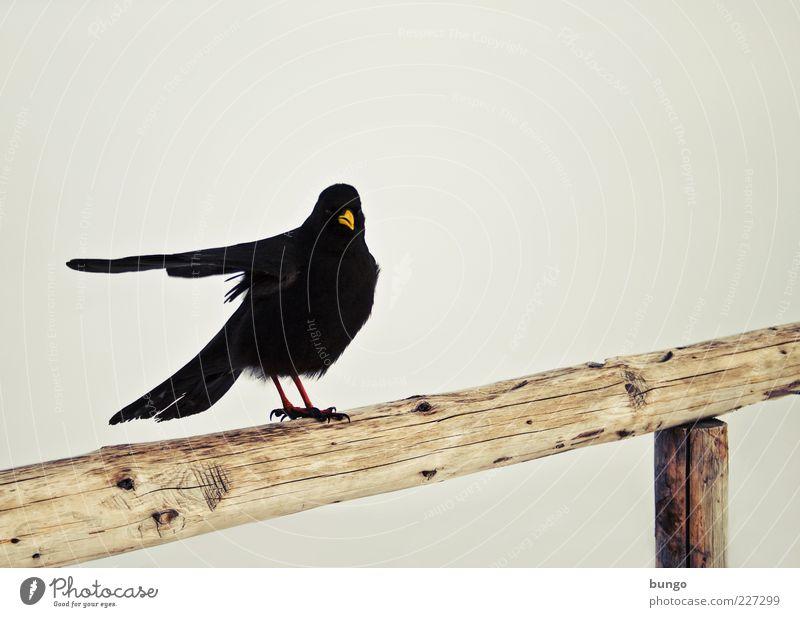 Wegweiser Natur Tier schwarz dunkel Holz Vogel sitzen warten Feder außergewöhnlich Flügel Geländer skurril zeigen Schnabel