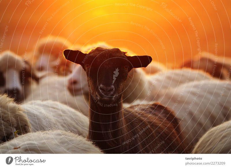 Porträt der jungen Ziege unter der Schafherde Glück schön Gesicht Leben Sommer Natur Landschaft Tier Wiese Herde dunkel Zusammensein lustig niedlich gelb grün