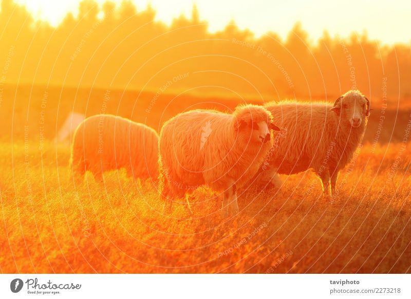 weiße Schafe im orange bunten Licht schön Umwelt Natur Landschaft Tier Herbst Wiese Herde verblüht natürlich grün Farbe Bauernhof Tiere Viehbestand farbenfroh